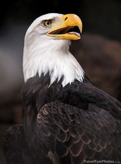 Majestic Bald Eagle at Palmitos Park in Gran Canaria, Spain