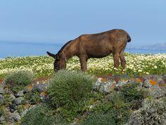 Petit âne  #Santorini