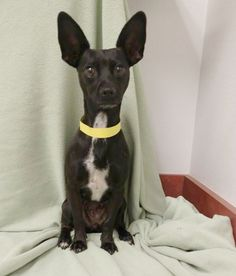 Alice is an 18-month-old chihuahua mix female who weighs about 6 pounds. She gets along well with other dogs. The $125 adoption fee helps cover spay/neuter, vaccinations, microchip, vetting, food and care. Call Pets Without Partners at 243-6911. Go to www.petswithoutpartners.org.