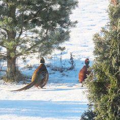 Kivaa torstaita! Happy Thursday!  #fasaanit #aamulenkillä #pheasants #morningwalk #birds #luonto #luontokuva #nature #naturepic #wlnter #wintermorning #talvi #talviaamu #fasaani #pheasant #tuulaslife #nelkytplusblogit #åblogit #aurinkopaistaa