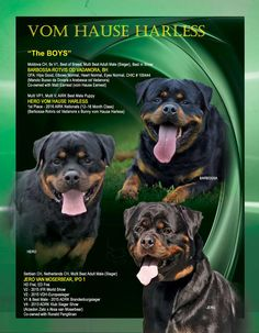 """""""The Boys"""" Vom Hause Harless Rottweilers Terry Tiller Charlotte, North Carolina 704-906-2379 HarlessRottweilres@Carolina.rr.com www.harlessrottweilers.com"""