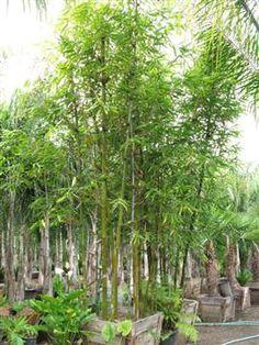 All Tropical Palms Nursery Gilroy Ca Gardenwhole Nurserypalm Treesbay Areapalmspalmastropical