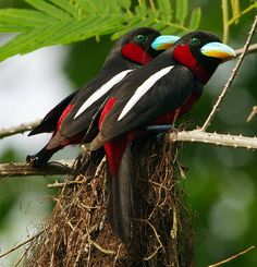 Black-And-Red Broadbill ( Cymhirhynchus macrohychos )