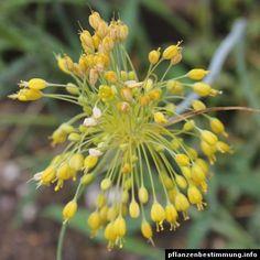 Schon Gelb Blühende Pflanzen Und Blumen Bestimmen