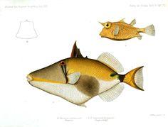 Animal - Fish - Yellow geometric.jpg 1,711×1,298 pixels. Journal des Museum Godeffroy (1873).  -- Is that you Humuhumunukunukuapua'a?