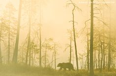 Crossing The Swamp by Marsel van Oosten on A wild brown bear crosses a swamp one early morning in Finland. Forest Falls, Animal Attack, Action Photography, Bear Photos, Everything Is Awesome, What A Wonderful World, Nature Photos, Travel Around The World, Pretty Pictures