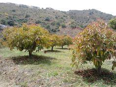 Avocado trees growing / Árboles de aguacates creciendo