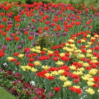 When to plant tulip bulbs :: National Gardening Association