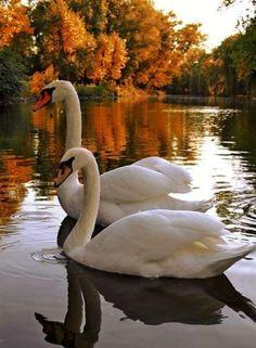 ♥ ~ ♥ Swans ♥ ~ ♥