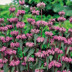 Dark green woolley foliage with rich ruby red stems with wonderful whorls of bright lilac flowers on tall spires. Great for drying too. Drought tolerant easy to grow. Prefers full sun or light shade must be well drained. Planting Seeds, Planting Flowers, Sage Plant, Flamingo Garden, Tree Identification, Herbaceous Perennials, Heuchera, Perfect Plants, Lilac Flowers