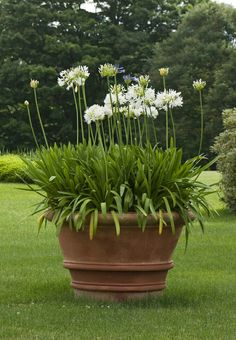 For my large clay pots on front porch.move to backyard. Yet another impressive terracotta pot this time planted white Agapanthus. Again, I would recommend using Agapanthus africanus 'Albus' as it holds on to its leaves all-year-round. Plants, Garden Planters, Outdoor Gardens, Perennials, Dream Garden, Garden Inspiration, Container Gardening, Garden Containers, Garden Landscaping