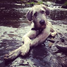 Six month old Irish Wolfhound named Mountain.
