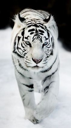 This Beautiful creature is being hunted down So I think it needs to be seen in a picture ➰ #White #Tigers