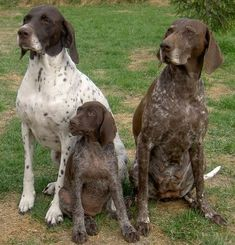 Dog of the Day - German Shorthair Pointer - News - Bubblews
