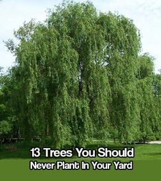 13 Trees You Should Never Plant In Your Yard, With explanations why and pictures to show you the trees, hopefully you can plant better trees for your garden