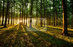 Wall Mural rays of light - forest - tree • PIXERSIZE.com - http://pixersize.com/wallmurals/rays-of-light-53546475