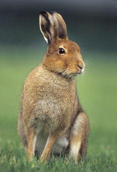 irish animals | Irish Mountain Hare - Irish Wildlife & Nature Photography