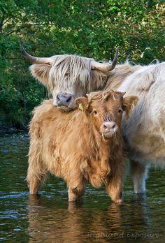 Cows, coolin' down.