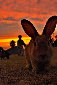 okunoshima, rabbit island