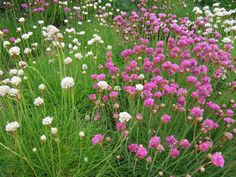 Sea pink armeria maritima thrift this flower is part of the sea this flower is part of the sea lavender family plumbaginaceae it is a cushion fo sea pink armeria maritima pinte mightylinksfo