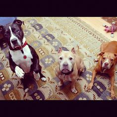 """Lex says, """"Tonka is the dog on the far left, sitting up. He's 10 years old now and he is a rescued/adopted American Pit Bull Terrier. The pretty girl in the middle is Fanny. She was 10 years old (I lost her two weeks ago to cancer). She was a rescue from the Missouri dog fighting busts of 2009. She was the sweetest dog you could ever meet. Loved people and other dogs. She's an APBT too. The little red girl on the far right is Gracie. She is 14 years old, is a rescued APBT."""""""