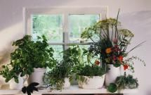 Starting an Herb Garden? Avoid These 10 Mistakes: Choosing unhealthy herb plants