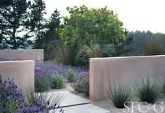 walls, paving, gravel and Spanish lavender in a dry garden in Carmel, CA, by Bernard Trainor