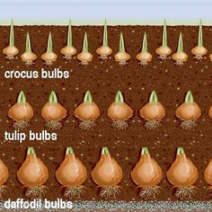 """bulb planting diagram ~ For sequential waves of flowers, plant a """"bulb sandwich"""" layering crocus, tulip and daffodil bulbs in the same hole"""