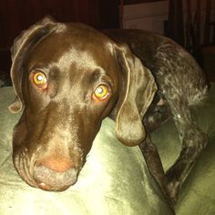 My German short haired pointer-Toby.