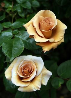 Irish Creme Roses. I don't care for roses, but these are pretty!!