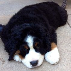 They have the biggest, fluffiest puppy paws. | 23 Reasons Bernese Mountain Dogs Are The Champions Of Our Hearts