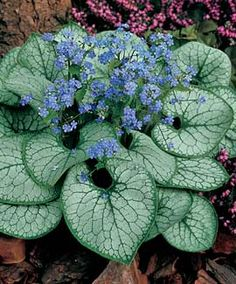 Jack Frost Brunnera.   One of my favorite plants for a shady flower bed.  Lots of beautiful blue blooms in late spring & early summer.