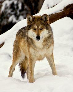cute lil wolfy