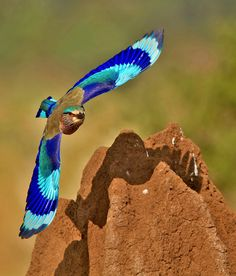 Indian Roller ~ By Subramanniyan Maniwow. This picture shows the wing pattern of an Indian Roller (Coracias benghalensis) from Bangalore, Karnataka, India.