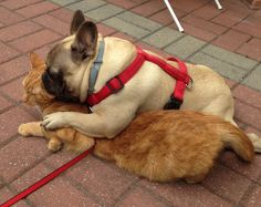 French Bulldog Lovin' on a Cat.