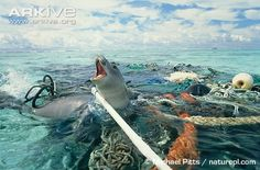 Hawaiian monk seal entangled in ocean trash...everything you litter will make its way to a water source