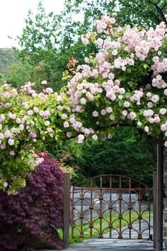 I planted these wee Cecil Bruner roses to climb the Trellis, now they are a beautiful cascade of pink.....