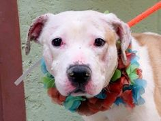 TO BE DESTROYED - 02/13/15 Manhattan Center   My name is PARIS. My Animal ID # is A1026469. I am a spayed female tan pit bull mix. The shelter thinks I am about 2 YEARS old.  For more information on adopting from the NYC AC&C, or to  find a rescue to assist, please read the following: http://urgentpetsondeathrow.org/must-read/