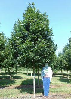Having trouble finding Red Maples? Look no further than Legacy Sugar Maple; the perfect sub for your next project! Shade Trees, Sugar, Red