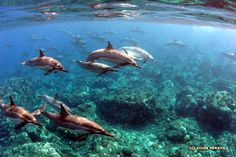 Large group of dolphins in an ocean reef environment. Wonderful picture of a very archetypal animal, surrounded by myth and legend.