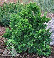 Chamaecyparis obtusa ' Flabelliformis ' Miniature Hinoki Cypress