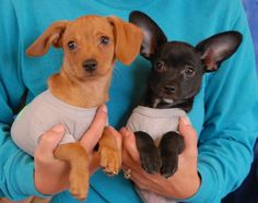 Simon & Garfunkel are lyrical baby boys debuting for adoption today at Nevada SPCA (www.nevadaspca.org).  They are adorable, affectionate Chihuahua mix puppies expected to remain small, about 3 months of age and now neutered.  They have been lovingly cared for in a foster home since their rescue.  Please puppy-proof your home and yard for their safety.