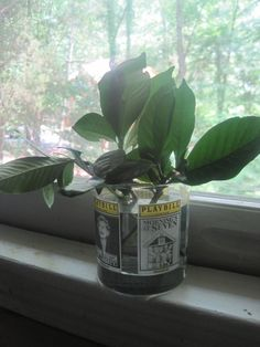 Growing Gardenias from Cuttings...now I just need to find some one with gardenias.