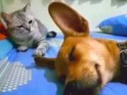 Dog Accidentally Farts In His Sleep But It's Cat's Comeback That Has Internet Cracking Up Goodfullness is part of Dog farts - Funny Animal Videos, Funny Animal Pictures, Cute Funny Animals, Funny Babies, Funny Dogs, Funny Humor, Dog Farts, Cat Attack, Poor Dog