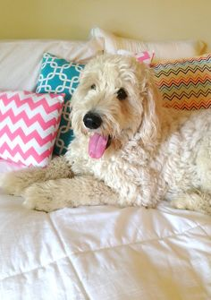 Mr. Grumples! #goldendoodle. this looks like a big girl penny!!!