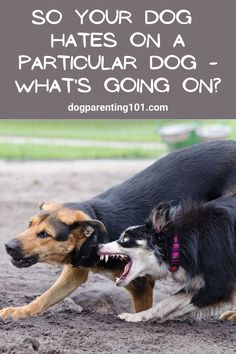 There are lots of reasons why a dog hates one particular dog, just some or everyone he meets! Find out why and what to do about it. #aggressionindogs #anxietyindogs #dogtraininghelp Pet Sitters International, Dog Fails, Group Of Dogs, Cute Dog Photos, Aggressive Dog, Pet Costumes, What Goes On, Dog Care, Dog Mom
