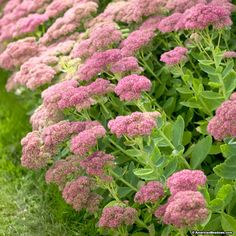 Sedum Autumn Joy is an incredible perennial that should be planted in everyone's garden. It's really easy to grow and adds bright pink flowers in late summer when other plants are waning. (Stonecrop)