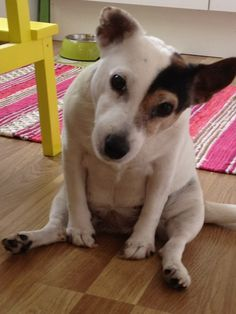 jack russell terrier How u doing??