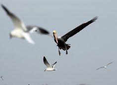 Brown Pelican | por Laura Erickson