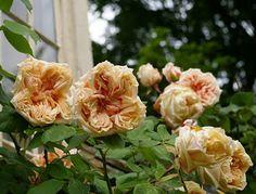 Gloire de Dijon at John Grimshaw's Garden Diary: Up the wall